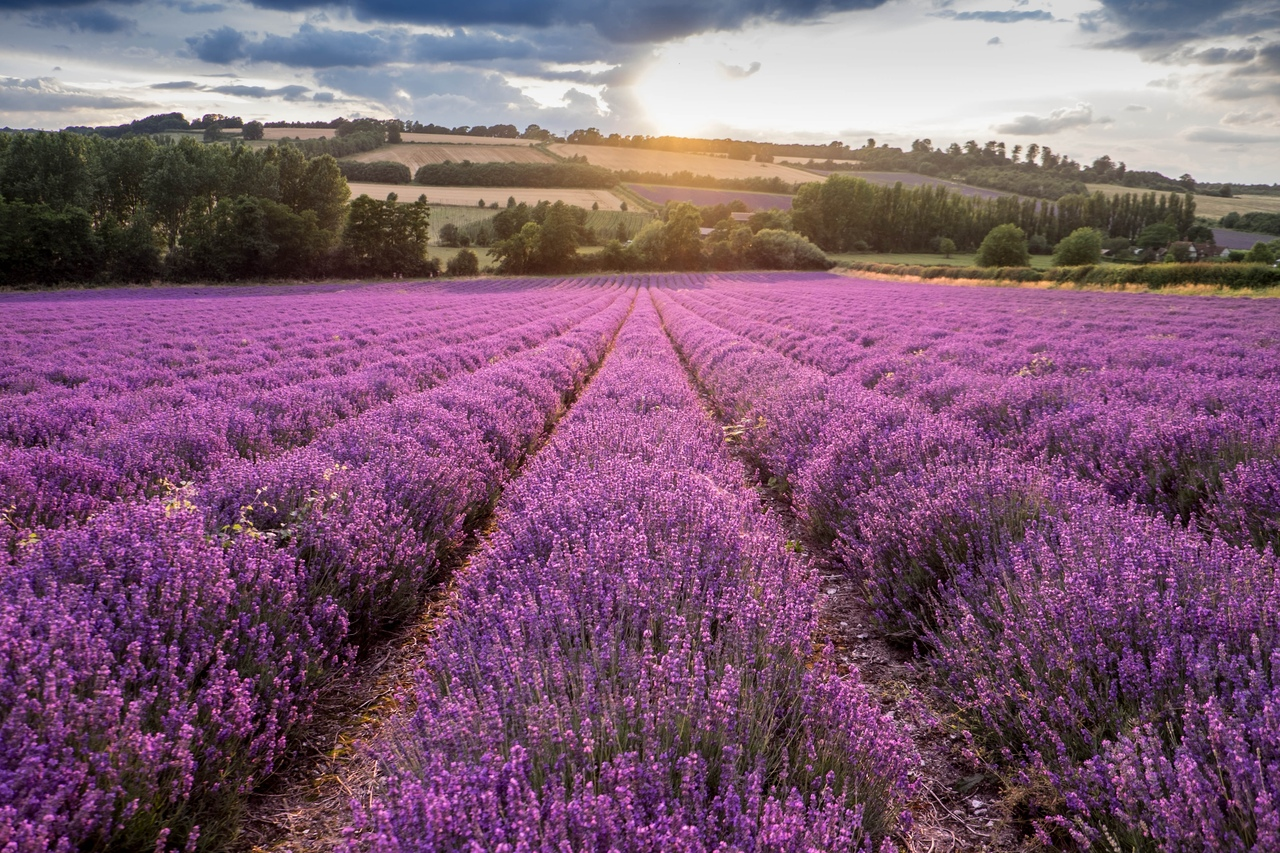 Поля Прованса, поля лаванды, юг Франции